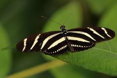 热带镶边longwing在的蝴蝶恶作剧longwing的老虎 免版税库存图片