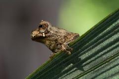 热带青蛙的结构树 图库摄影