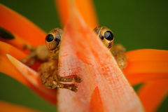 热带青蛙Stauffers Treefrog, Scinax staufferi,在橙色绽放花掩藏的坐 在自然热带森林habi的青蛙 图库摄影