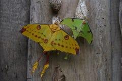 热带飞蛾 库存图片