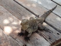 热带鬣鳞蜥的爬行动物 免版税库存图片