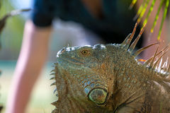 热带鬣鳞蜥画象  免版税库存照片