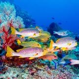 热带鱼临近五颜六色的珊瑚礁 免版税库存照片