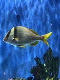 热带鱼佛罗里达坦克游泳 库存图片