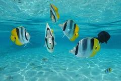 热带鱼和平的二重马鞍蝴蝶鱼 免版税库存图片