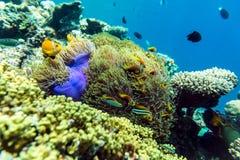 热带鱼和珊瑚在马尔代夫 免版税库存照片