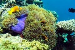 热带鱼和珊瑚在马尔代夫 库存照片