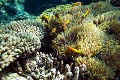 热带鱼和珊瑚在马尔代夫 免版税库存图片