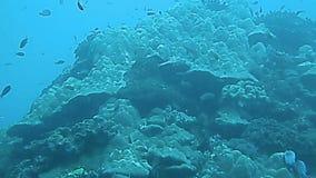 热带鱼和珊瑚接近,巴厘岛 股票视频