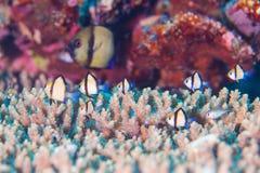 热带鱼和cora 库存照片