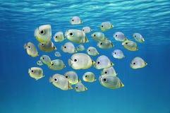 热带鱼四目的蝴蝶鱼学校  库存图片