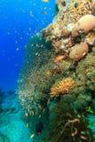 热带鱼在一个兴旺的珊瑚石峰附近游泳 免版税库存图片