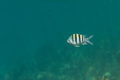 热带鱼在伯利兹 库存图片