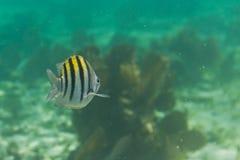热带鱼在伯利兹 免版税库存图片