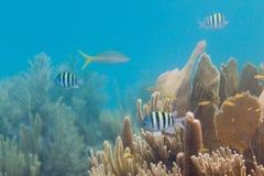 热带鱼在伯利兹 图库摄影