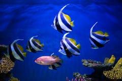热带鱼在珊瑚礁附近游泳 免版税图库摄影