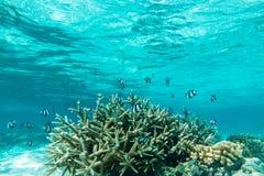 热带鱼在马尔代夫 库存图片