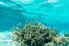 热带鱼在马尔代夫 免版税库存图片
