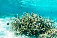 热带鱼在马尔代夫 免版税库存照片