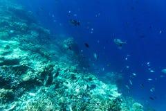 热带鱼在马尔代夫 图库摄影