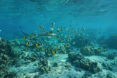 热带鱼学校与blacktip礁石鲨鱼的 免版税库存图片