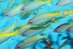 热带鱼学校在海洋 免版税库存图片
