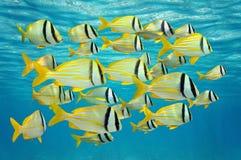 热带鱼学校临近水表面 免版税库存照片