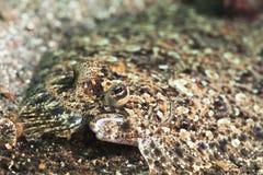 热带鱼异体类 免版税图库摄影