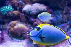 热带鱼旗子paracanthurus (Paracanthurus hepatus)体内 免版税库存照片