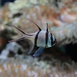 热带鱼条纹有珊瑚背景 库存照片