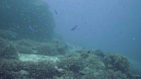 热带鱼游泳在珊瑚礁背景的深海 水下的世界和栖所,当在珊瑚中时的佩戴水肺的潜水 股票视频