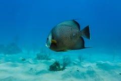 热带鱼特写镜头在珊瑚礁的在离洪都拉斯的海岸的附近 免版税库存图片