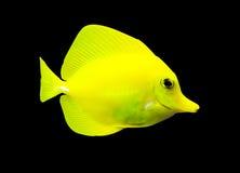 热带鱼的外科医生 免版税库存照片