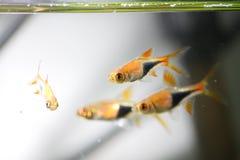 热带鱼的氖 免版税库存图片