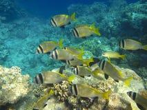 热带鱼的浅滩 免版税库存照片