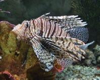 热带鱼的狮子 库存图片