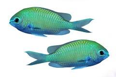 热带鱼的礁石 图库摄影