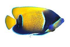 热带鱼的navarchus p 免版税库存图片