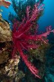 热带鱼红色礁石的海运 免版税库存图片
