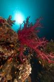 热带鱼红色礁石的海运 免版税图库摄影