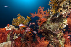 热带鱼红色礁石的海运 免版税库存照片
