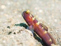 热带鱼虾虎鱼 库存图片