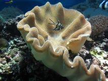 热带鱼Banggai深红鱼在珊瑚床上  免版税库存照片
