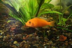 热带鱼Pseudotrofeus斑马 库存图片