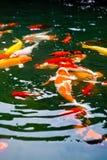 热带鲤鱼日本koi的池塘 免版税库存照片