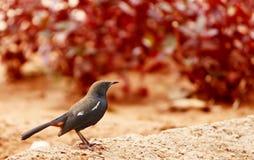 热带鸟母印第安的知更鸟 免版税库存照片