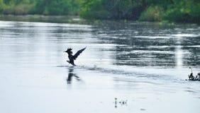 热带鸟突进者 图库摄影