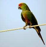热带鸟 Eupsittula aurea 免版税库存照片