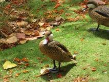 热带鸭子 免版税图库摄影