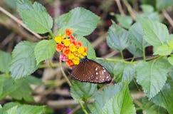 热带黑脉金斑蝶 免版税库存照片